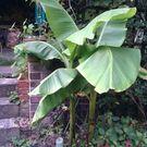 Bananafarmer_profile